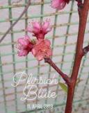 pfirsich_bluete